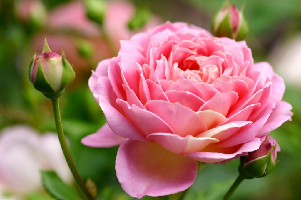 Huile essentielle rose de Damas BIO 1 ml  DROMESSENCE