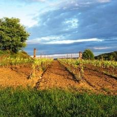 Les vignes bio du Domaine Allegria