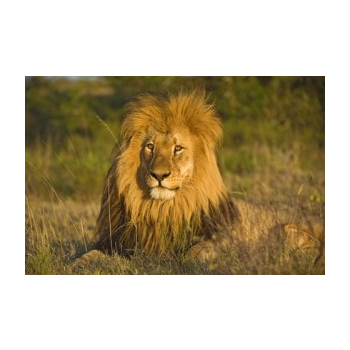 Elixir Lion* - 15ml