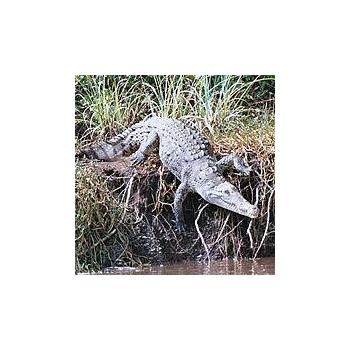 Elixir Alligator* - 15ml
