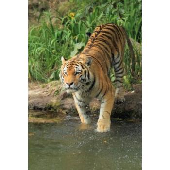 Elixir Tigre* - 15ml