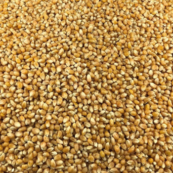 Maïs Pop Corn Bio en Vrac 1kg