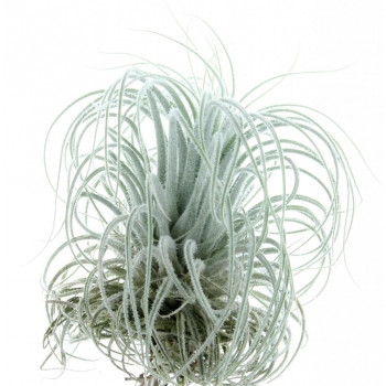 Tillandsia Tectorum snow_M