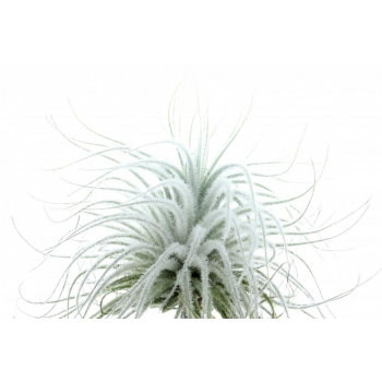 Tillandsia Tectorum snow_XL
