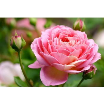 Huile essentielle rose de Damas BIO 2 ml  DROMESSENCE