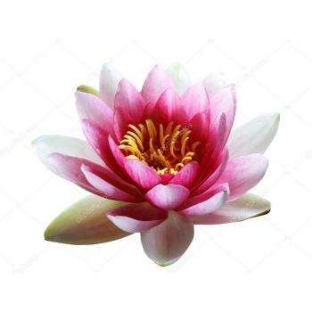 Huile essentielle Lotus Rose (absolue) 5 ml DROMESSENCE