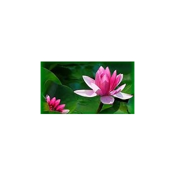Huile essentielle Lotus  1 ml DROMESSENCE