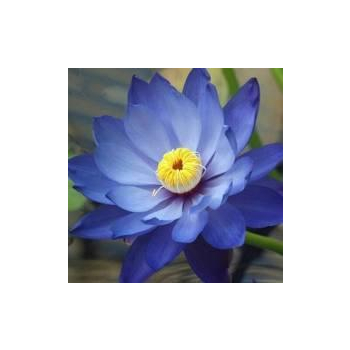 Huile essentielle lotus bleu (absolue) 2 ml DROMESSENCE