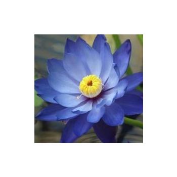 Huile essentielle lotus bleu (absolue) 5 ml DROMESSENCE
