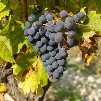 Les vignes bio du Domaine de la Guicharde