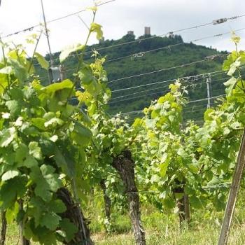 Les vignes bio du Domaine Stentz-Buecher