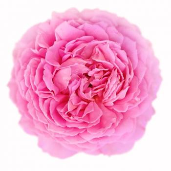 Huile essentielle Rose de mai 5ml (absolue) DROMESSENCE