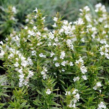 Huile essentielle Sarriette des Montagnes Sauvage Bio 5 ml