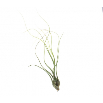 Tillandsia Butzii est une plante sans terre