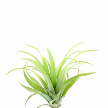 Tillandsia Capitata Lautneri plante épiphyte