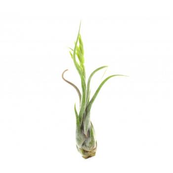 Tillandsia Caput Medusae plante exotique