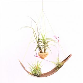 jardin suspendu avec 4 Tillandsias qui aiment l'humidité et vont en salle de bains avec fenêtre