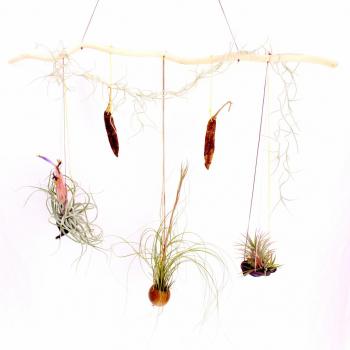 Tillandsia, plante sans terre, en jardin suspendu