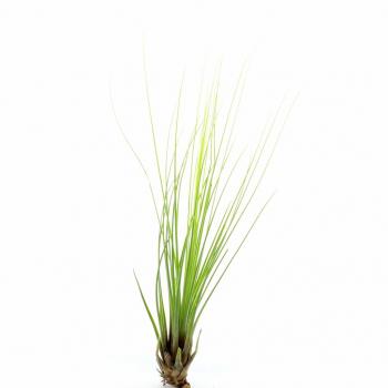 Tillandsia Juncifolia S