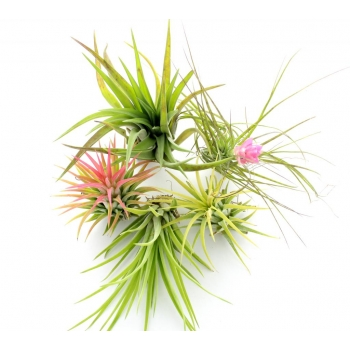 Lot de 5 tillandsias dont 1 offert