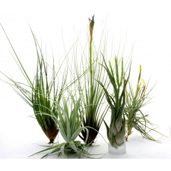 Lot de Tillandsias 4 +1 offert N°14