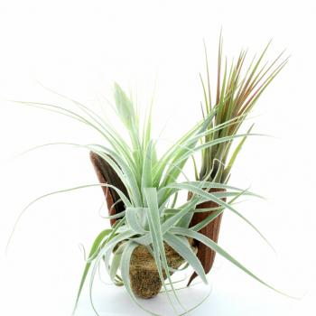 Décoration de Table avec ses plantes Tilandsias
