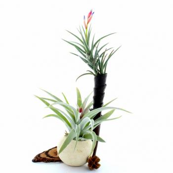 Décoration florale et les Tillandsias