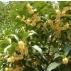 Thé Vert Printemps à Dalat