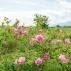 Huile essentielle de Rose de Damas Bio 5ml